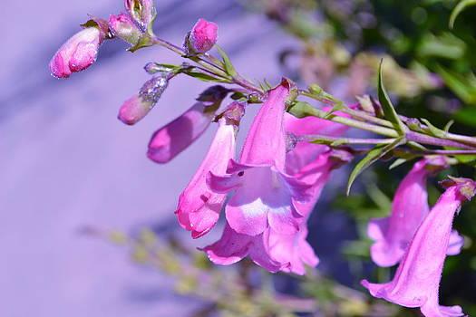 pink Penstemon  by Saifon Anaya