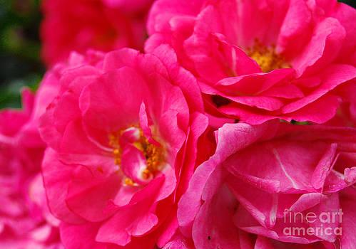 Pink Petals by Linda Mesibov