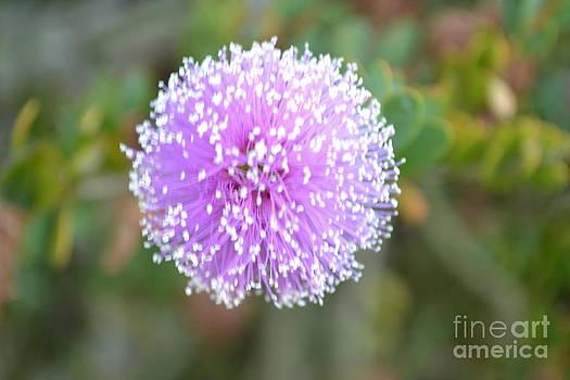 Pink Pompom by Saifon Anaya