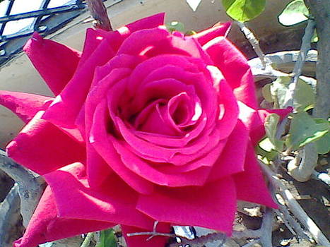 Pink rose by Archana Saxena