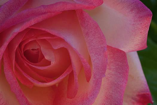 Gilbert Artiaga - Pink Rose