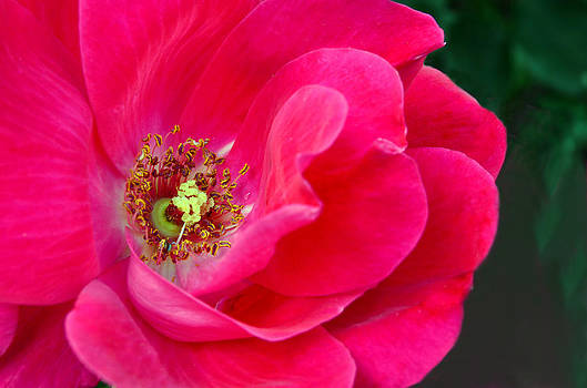 Pink Rose Macro by Sandi OReilly