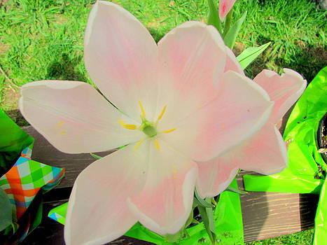Pink Tulip by Amy Bradley