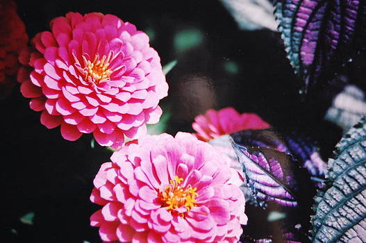 Pink Zinnias by Paul Thomley