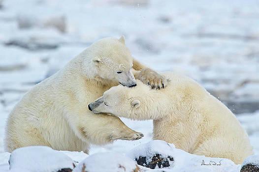 Polar Bear Wrestle by Dennis Fast