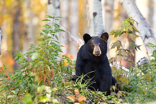 Poor Posture Black Bear by Brandon Broderick