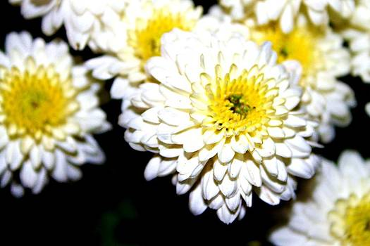 Popcorn Flowers by Hannah Miller