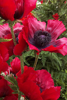 Poppies Rouge by Alan Rutherford