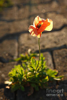 Gaspar Avila - Poppy blooming