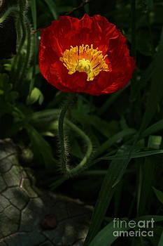 Byron Varvarigos - Poppy In Crimson And Gold