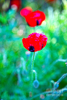 Poppy by Molly Heng