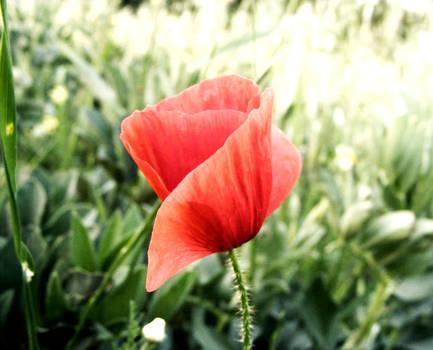 Poppy by Simona Schirinzi
