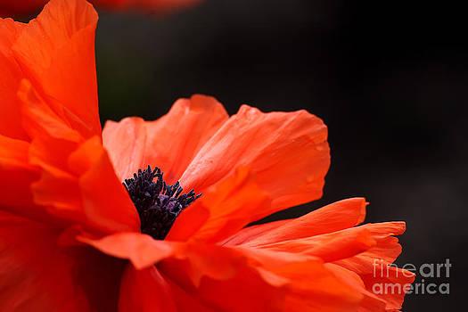 Poppy Tango by Noel Zia Lee