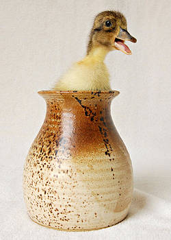 Potted Duck Goes Quack by Amy Schauland