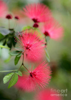 Sabrina L Ryan - Powder Puff Flowers