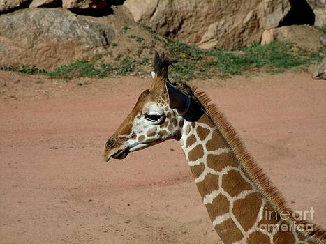Precious Baby Giraffe by Donna Parlow