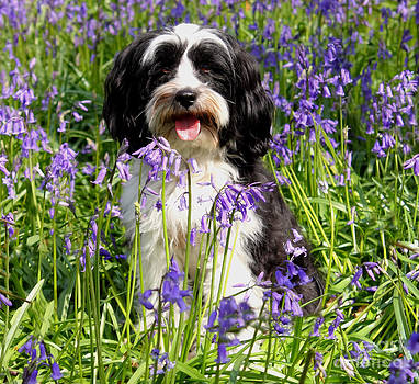 Simon Bratt Photography LRPS - Puppy in Bluebells