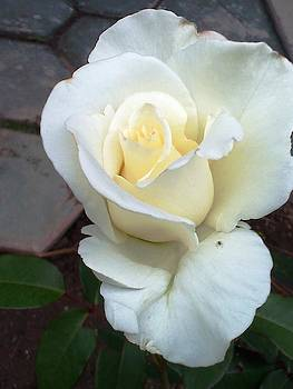 Pure White Rose by Leslye Miller