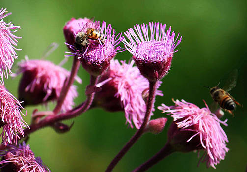 Purple and Bees by Nolan Taylor