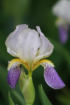 Purple And White Iris 1 by George Miller