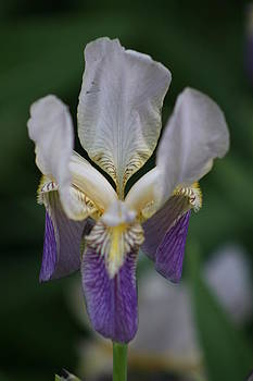 Purple And White Iris 2 by George Miller