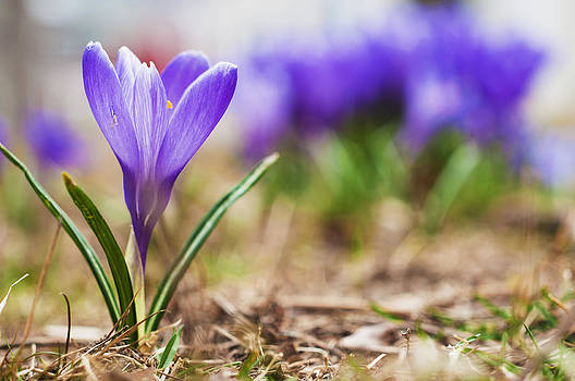Purple Crocus by Tor  Johannessen