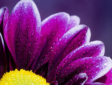 Purple Daisy by Kelly McNamara