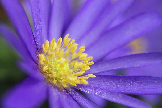 Scott Hovind - Purple flower yellow Pollen