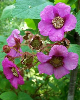 Purple-Flowering Rasberry by David Pickett