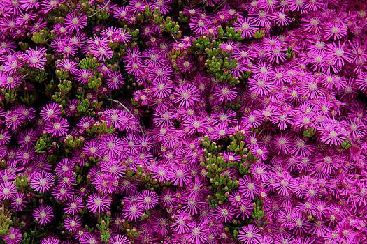 Purple Flowers by Zafer GUDER