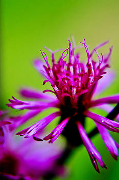 Purple Ironweed by Kris Napier