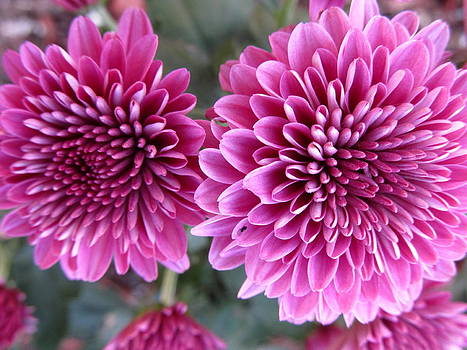Purple Mums by Lisa  Bahns