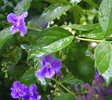Patricia Taylor - Purple on Green with Raindrops