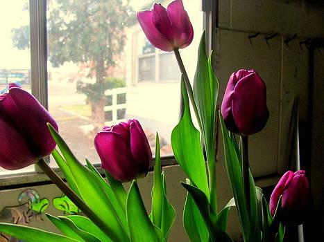 Purple Tulip Flowers by Amy Bradley