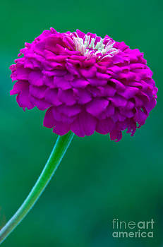 Purple Zinnia II by Dana Kern