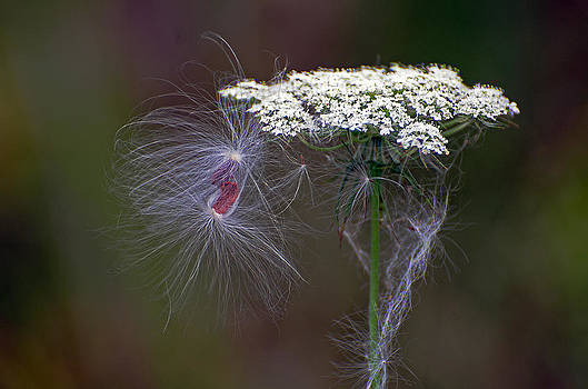 Queen Anne's lace by Cheryl Cencich