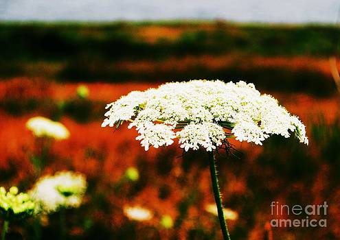 Queen Ann's Lace by Kristie Hayes-Beaulieu
