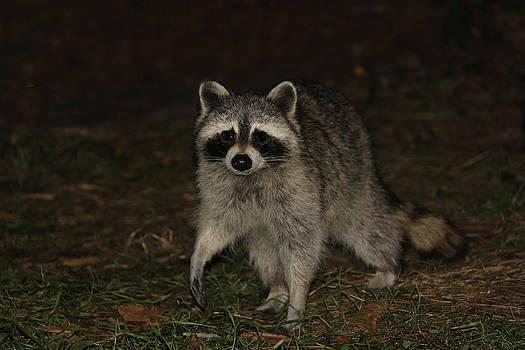 Raccoon by Lali Partsvania