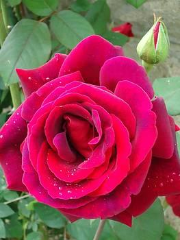 Rain drop Rose by Leslie Manley