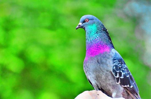 Rainbow Pigeon by Balram Panikkaserry
