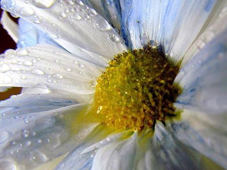 Rainy Daisy by Eva Kondzialkiewicz