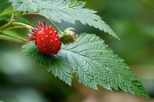 Raspberry Bliss by Scott Holmes