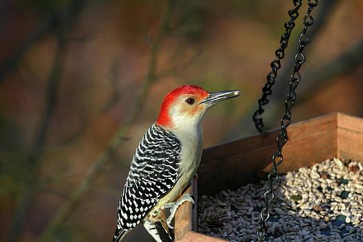 Karol  Livote - Red-Bellied Woodpecker