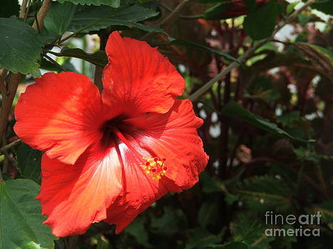 Red Bloom by Ashley Vipond