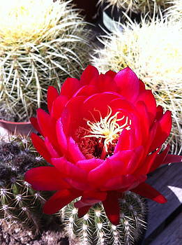 Red Cactus by Paul Washington