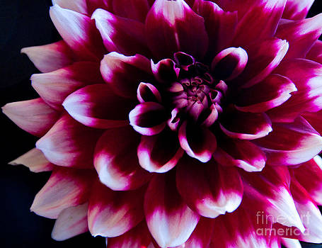 Red Dahlia by Dana Kern