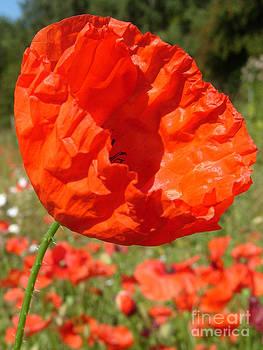 Red Field Poppy by Karin Ubeleis-Jones