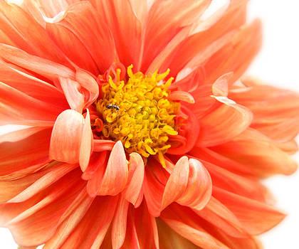 Red flower by Dina Ignatenko