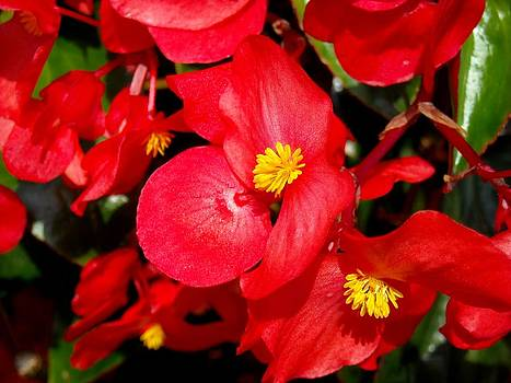 Red Flowers by Liliana Ducoure