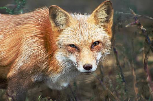 Red Fox by Cheryl Cencich